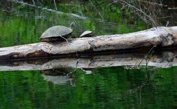 Två sköldpaddor Arkivbilder