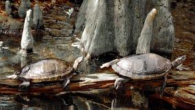Två sköldpaddor vilar på strålen Arkivbilder