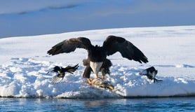 Två skalliga örnar slåss för rov USA _ Chilkat flod royaltyfria bilder
