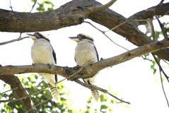 Två skrattfåglar som sitter på en trädfilial Arkivfoto