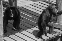 Två skrikiga schimpansprimat som visar apaförälskelse Royaltyfri Foto