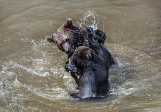 Två slåss brunbjörnar royaltyfri foto