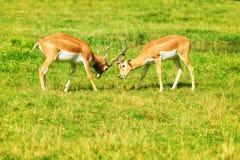 Två slåss rödbruna antilop på gräset arkivbild