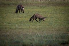 Två Slagträ-gå i ax rävar i gräset arkivbilder