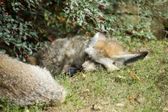 Två slagträ-gå i ax rävar som sover under bärbusken royaltyfri bild
