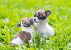 Två små chihuahuavalpar Arkivfoto