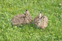 Två små hares Royaltyfria Bilder