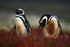 Två smutsig fågel i det röda gräset för jordhåleith, Magellanic pingvin, Spheniscusmagellanicus som bygga bo säsong, djur i natue Arkivbilder