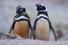 Två smutsig fågel i jordhålet, Magellanic pingvin, Spheniscusmagellanicus som bygga bo säsong, djur i naturlivsmiljön, Arg Arkivfoto