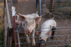 Två smutsiga unga rosa svin, 1 som är stående upp på hennes bakre ben som ser kameran Royaltyfria Bilder