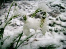 Två snödroppar i insnöad tidig vår Royaltyfri Foto