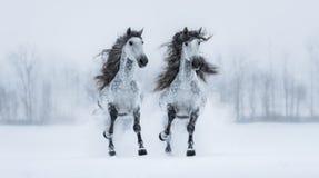 Två snabbt växande dapple-grå färger lång-maned fullblods- spanska hästar Fotografering för Bildbyråer