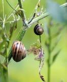 Två snails Arkivbild