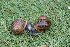 Två snails Royaltyfri Fotografi