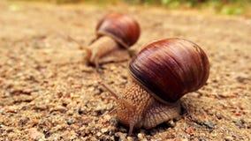 Två snails stock video