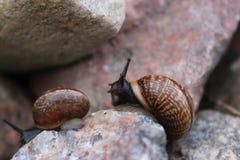 Två snails royaltyfri foto
