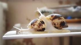 Två snails Fotografering för Bildbyråer