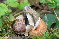 Två snails i stram anslutning Arkivbilder