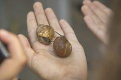 Två sniglar i hand Arkivfoton