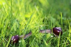 Två sniglar i soligt gräs Fotografering för Bildbyråer