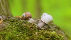 Två sniglar som kryper över mossa i skogen stock video