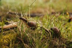 Två sniglar som sitter i det våta gräset Arkivfoto
