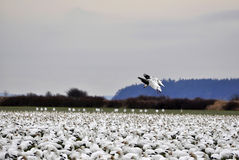 Två Snowgäss landar i denna massiva flock Royaltyfri Bild