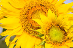 Två solrosor Royaltyfri Fotografi