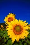 Två solrosor i fält Arkivfoto