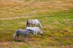 Två som är vita och som är gråa i de fläckiga vita hästarna Royaltyfri Bild