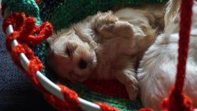 Två som streching, och zoomade sova havanese puppys - lager videofilmer