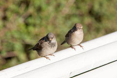 Två sparrows Arkivfoto