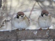 Två sparvar på en filial close upp Träd frost royaltyfri bild