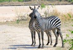 Två stående Chapman Zebra tillbaka som ska dras tillbaka på afrikanslättarna i den södra Luangwa nationalparken, Zambia arkivbild