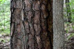 Två stammar Grön skog Masuria poland royaltyfri fotografi