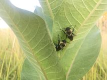 Två stapplar bin på en milkweedväxt Arkivbilder