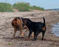 Två starka hundkapplöpning som slåss på stranden Royaltyfria Bilder