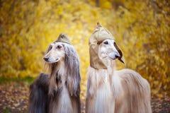 Två stilfulla afghanska hundar, hundkapplöpning arkivbilder