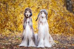 Två stilfulla afghanska hundar, hundkapplöpning fotografering för bildbyråer