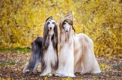 Två stilfulla afghanska hundar, hundkapplöpning, i ett militärt lock royaltyfria foton