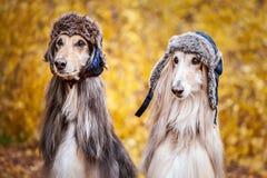 Två stilfulla afghanska hundar, hundkapplöpning, i roliga pälshattar fotografering för bildbyråer