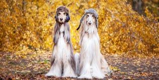 Två stilfulla afghanska hundar, hundkapplöpning, i roliga pälshattar royaltyfri fotografi