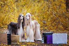 Två stilfulla afghanska hundar, hundkapplöpning, med shopping royaltyfri bild