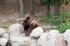 Två stora brunbjörnar Royaltyfri Fotografi