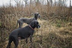 Två stora danskar i buskar fjädrar tidigt Arkivfoto