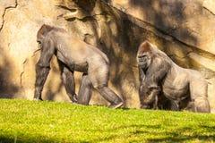 Två stora gorillor Arkivfoto