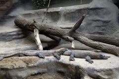 Två stora gråa ödlor ligger på stenarna arkivfoto