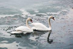 Två stora härliga vita svanar simmar på sjödelen av som I arkivbilder