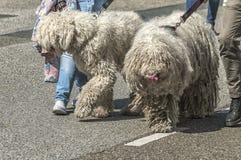 Två stora håriga hundkapplöpning som går på gatan fotografering för bildbyråer