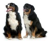 Två stora hundkapplöpning Royaltyfri Fotografi